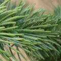 Ozone injury on Norway spruce