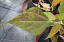 Leaf damage caused by ozone.