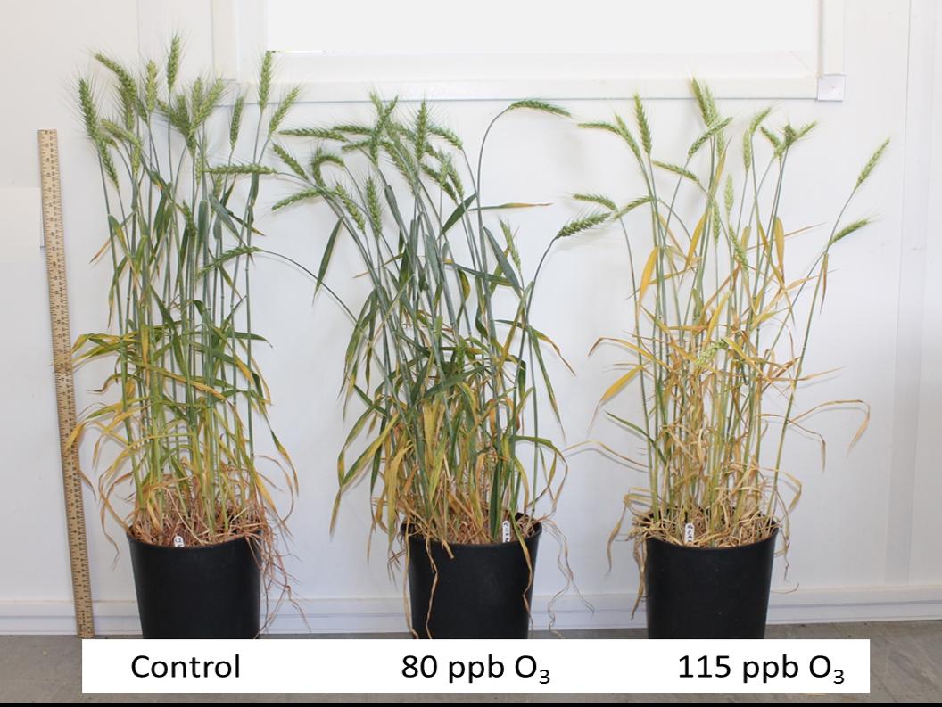 Wheat growth under ozone treatments.